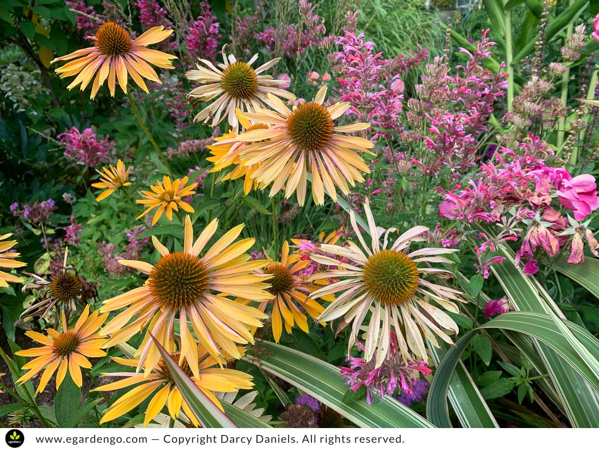 Echinacea Big Kahuna and Agastache Red Fortune